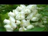 Мария Пахоменко - Белой акации гроздья душистые. Mariya Pahomenko - Beloy akatsii grozdya dushistyie