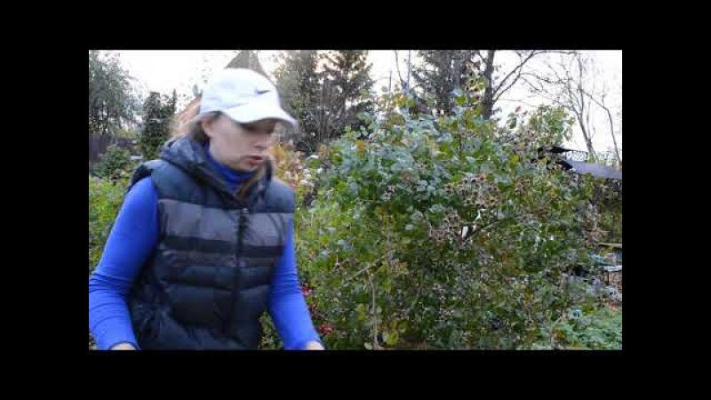 Как уложить на зиму большую штамбовую розу