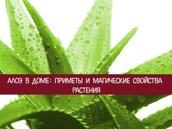 *Алоэ в доме: приметы и магические свойства растения*