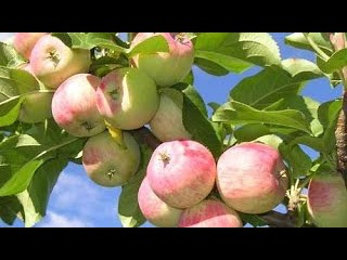 Осенний яблоневый сад.Село Шушкодом.Заложен в 1969 году.Бабье лето--исп.Л Корнева.