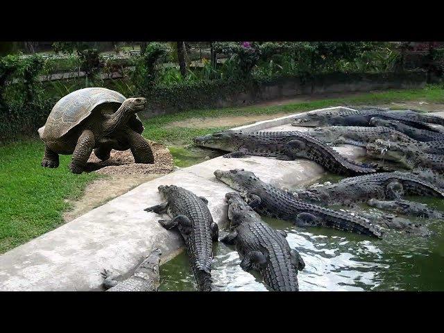 Tranh ăn với rùa Alligator cá sấu bị cắn chạy mất xác - Turlle vs Crocodle vs Lion