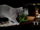 Смешной кот бездельник играет и гоняет по квартире