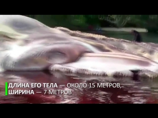 Гигантскую тушу неизвестного морского существа выбросило на берег в Индонезии