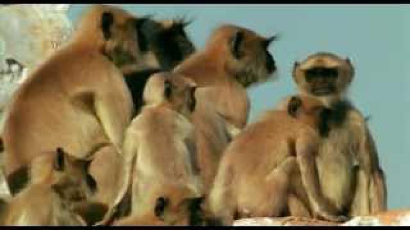 Ребятам о Зверятах - Лангуры [Обезьяны] (1 Сезон 2 Серия от ASHPIDYTU в 2006)