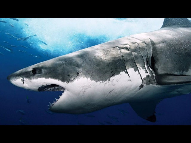АКУЛЫ - ДОКУМЕНТАЛЬНЫЙ ФИЛЬМ ОТ ФОКС ВИДЫ АКУЛ: акула гоблин, акула молот, большеротая акула