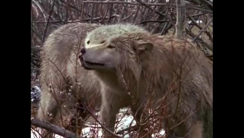 Волки. Жизнь волков в дикой природе