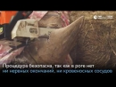 Чешский зоопарк защитит носорогов, отпилив им рога