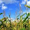 Corn-capital