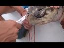 【中文字幕】從海龜氣管拔出塑膠吸管全程實錄! 地球不是為我們而轉的