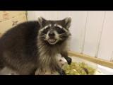 Енот Тибэк ест фрукты