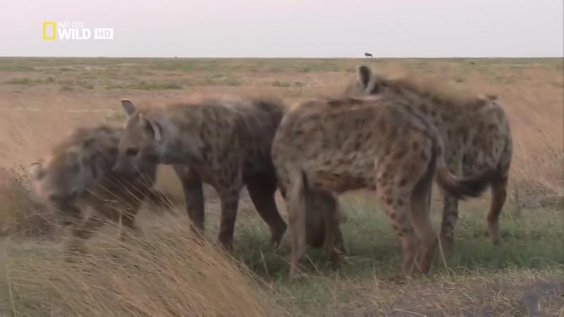 Гиена — царица хищников (Документальные фильмы National Geographic HD)