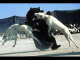 Gull Terrier Lord Gladiators