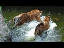 Cuộc chiến của 2 chúa tể rừng xanh tới chết cực hay-Cuộc chiến đồng loại hổ,bạch tuộc, tắc kề,trăn