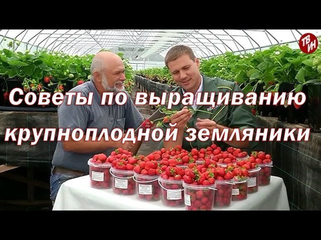 Советы по выращиванию крупноплодной земляники