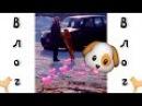 ▼VLOG: Выставка Охотничьих Собак! / Лайки и Эстонские Гончие. ▼