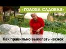 Голова садовая Как правильно выкопать чеснок