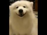 Крутая собака танцует ушами ))) Cool dog dancing ears