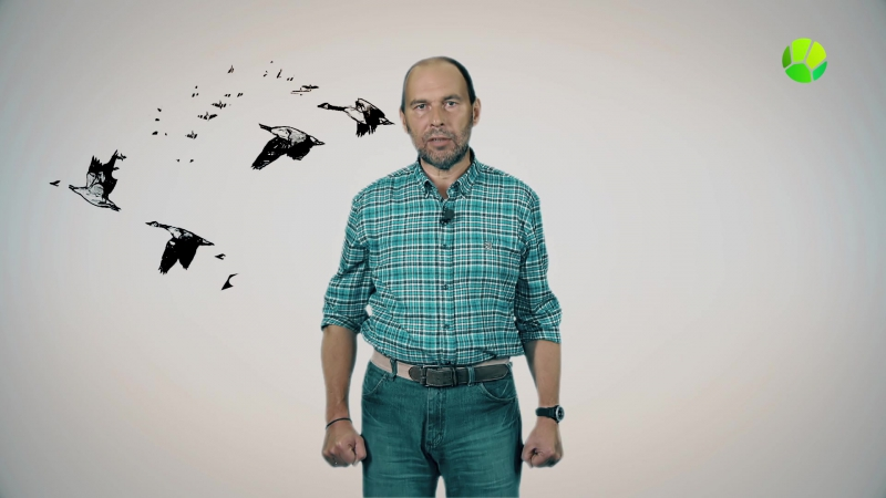 Живая Планета отвечает: Зачем перелетные птицы выстраиваются клином?