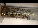 Serviformica rufibarbis