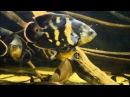 Astronotus crassipinnis and Cichla kelberi jan 2016