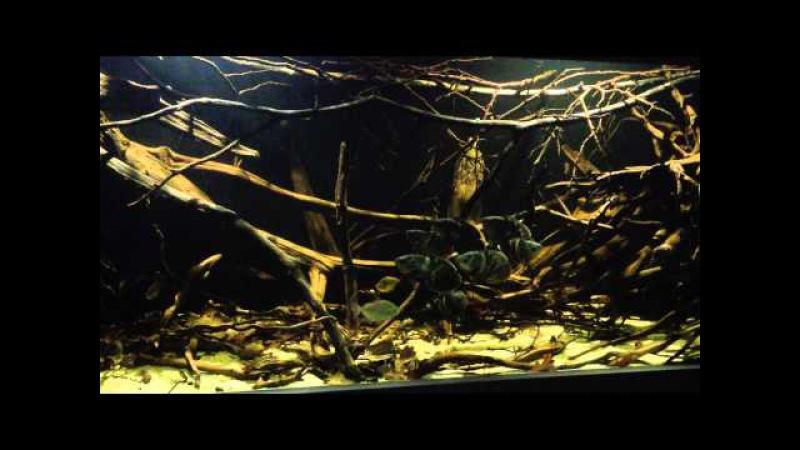 Astronotus crassipinnis in the indoor pond update december 15 2014