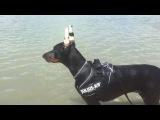 Пятимесячный щенок добермана учится плавать
