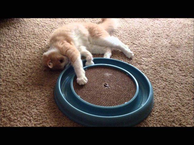 Creme Brulee the Cat playing with Bergan Turbo Scratcher Cat Toy Very cute!