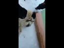 Собачий бой Алапарvs Цезарь 2