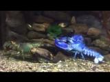 Только один на каждые два миллиона имеют этот цвет...этот лобстер синий из-за генетической мутации.. видео Seacoast Science Cent
