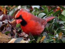 Голоса птиц. Красный кардинал (лат. Cardinalis cardinalis)