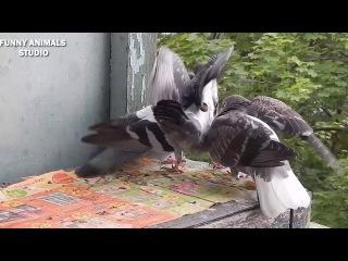Голуби - Птенцы голубей - Голубиная сага - 15 серия
