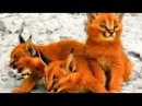 Top 5 Cele mai Rare Rase de Pisici