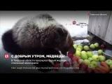 В Тверской области проснулся бурый медведь, спасенный авиаторами