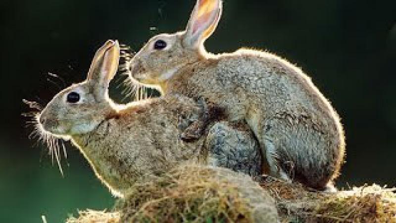 Спаривание кроликов в марте 2017 года. Rabbits.