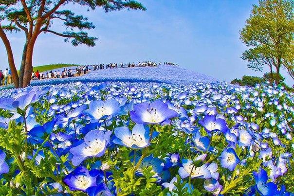 Когда небо упало на землю. Несколько миллионов цветов немофилы зацвел