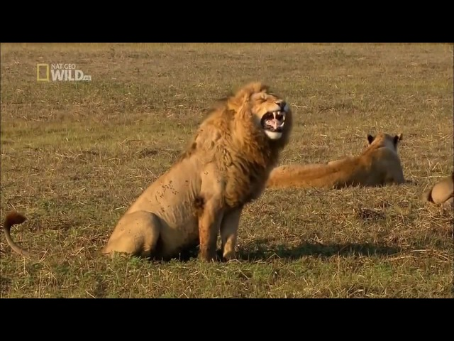 NATIONAL GEOGRAPHIC WILD HD - Lions attack!