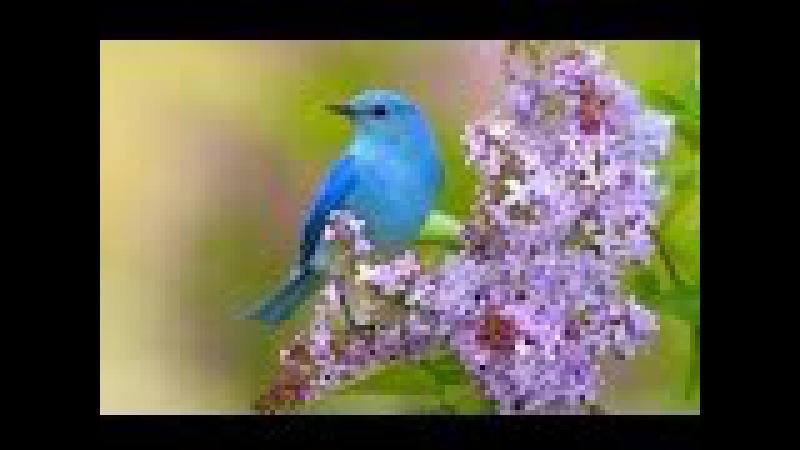 Пение соловья и лесных птиц: активизация всех систем организма. Очищает помещен ...