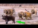 Тигр против кабана В реальном бою, Лев Леопард, ДикиЕ собаки
