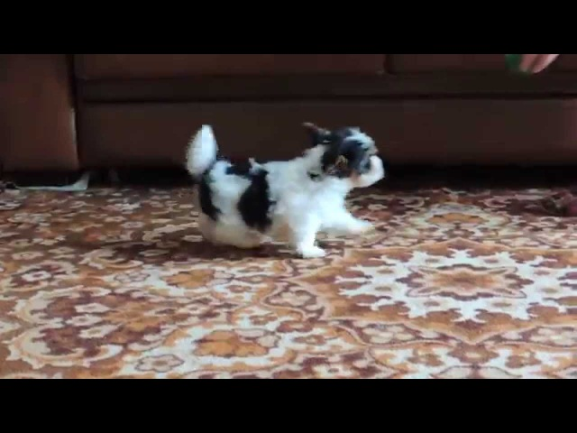 видео щенок бивер йорк мальчик