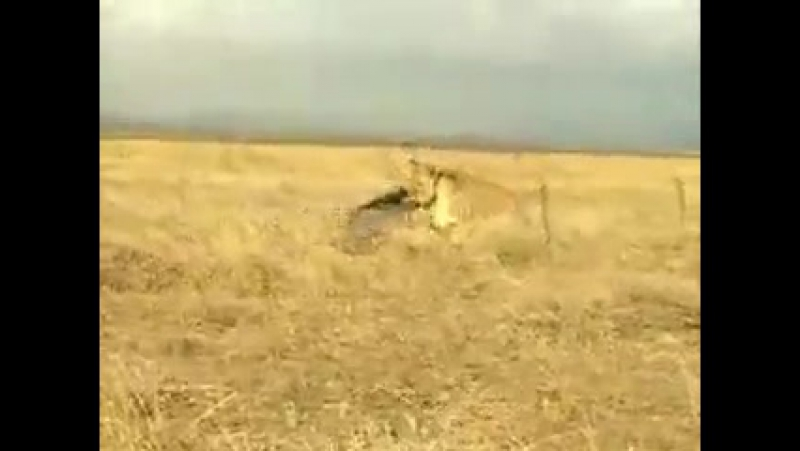Кабан против льва, кабан жжёт