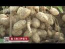 Арахис ''Хуашэн'', или как вырастить 45 миллионов тонн (графство Чжэнян, провинция Хэнань).