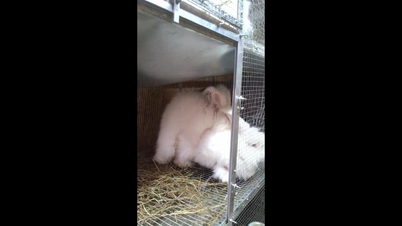 Спаривание кроликов породы Немецкая ангора.