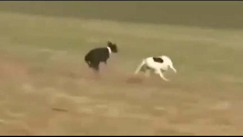 Гончие Собаки и заяц [360]