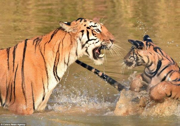 История о том, как тигрица купала своего