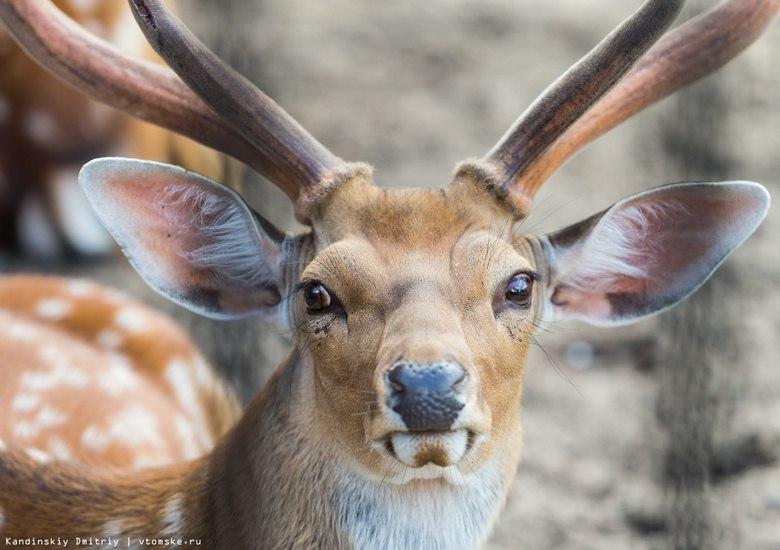 Томские ученые разработали добавку для спортсменов на основе крови оленя
