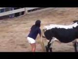 Девушка знает как усмирить быка )))