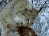 Documentary films - Lynx Elusive Hunter - -Pure Nature Specials