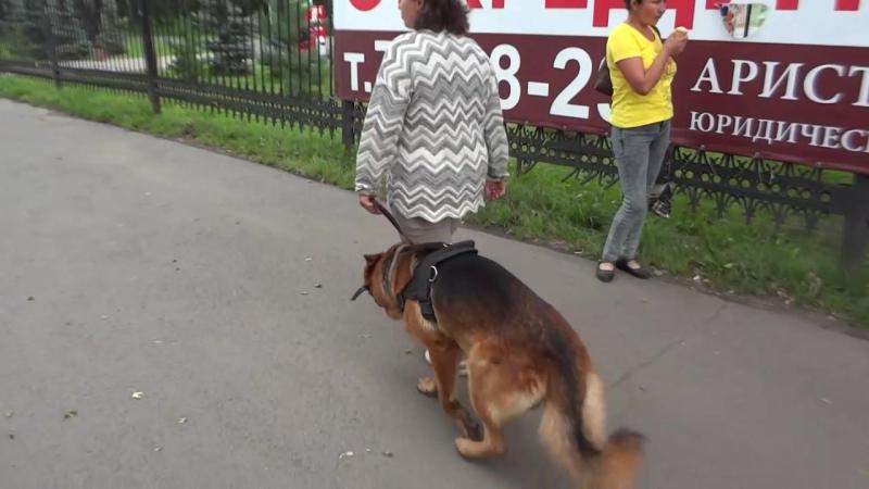 Собака телохранитель,тренировка навыков в городе.немецкая овчарка Буран вл. Демиденко Надежда.