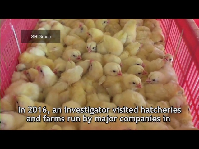 Chicks Crushed, Drowned, and Burned to Death for Eggs and Flesh