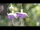 Фуксии что нужно для цветения